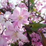 桜 アップ (640x480)